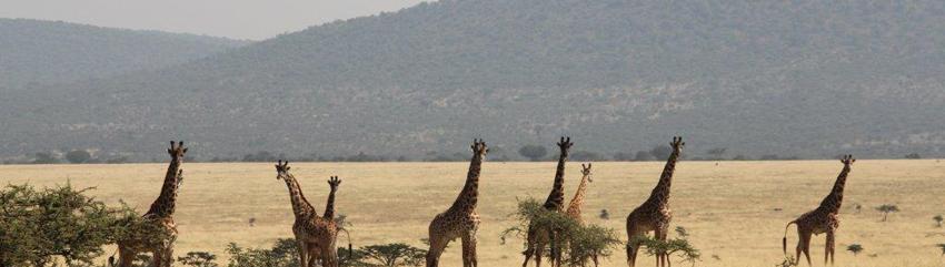 http://thecrimetraveller.com/wp-content/uploads/2013/01/Giraffess.png